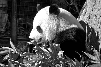 Photograph - Panda Baby by Carol  Bradley