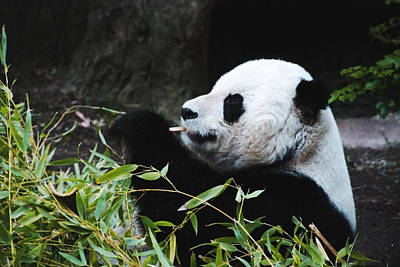 Photograph - Panda Bear by Anthony Citro