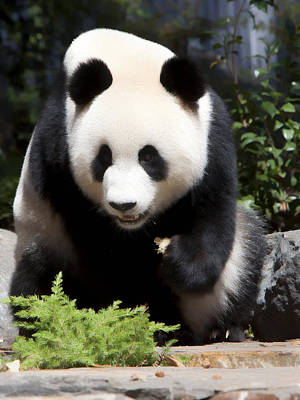 Photograph - Panda by Paul Svensen