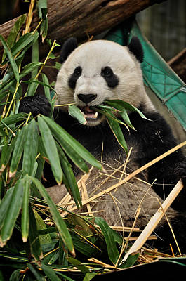 Photograph - Panda's Appetizer by Matt MacMillan