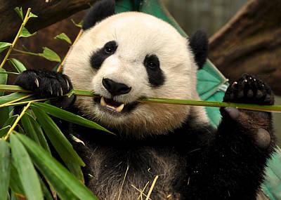 Photograph - Panda's Toothpick by Matt MacMillan