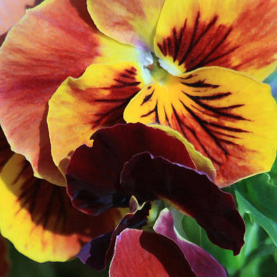 Photograph - Pansies by Donna Corless