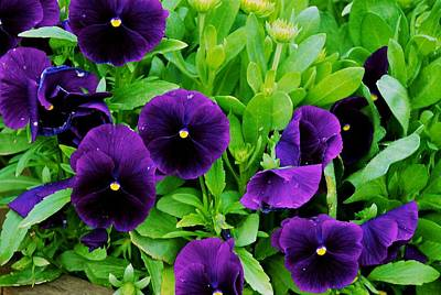 Photograph - Pansies by Eric Tressler