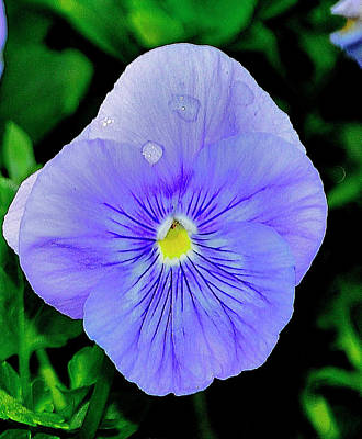 Photograph - Pansy by Helen Haw