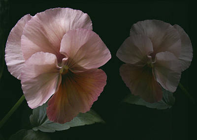 Photograph - Pansy by Nancy Griswold