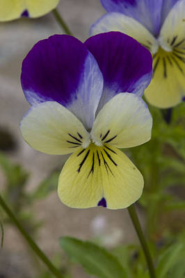 Photograph - Pansy by Rob Hemphill