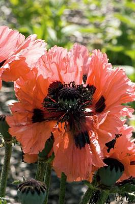 One Single Pink Poppy Flower Photograph - Papaver Orientale 'pink Ruffles' by Adrian Thomas