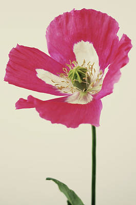 Colored Background Photograph - Papaver Somniferum izmir Afghanistan Special by Farmer Images