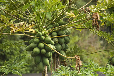 Manoa Falls Photograph - Papaya Fruit Grows On A Tree In Hawaii by Stacy Gold