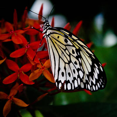 Idea Leuconoe Photograph - Paper Kite Butterfly by David Patterson