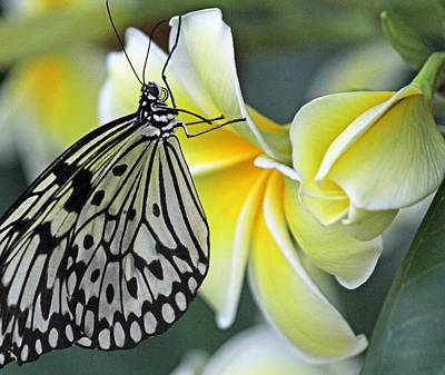 Becky Photograph - Paper Kite Butterfly On Plumeria by Becky Lodes