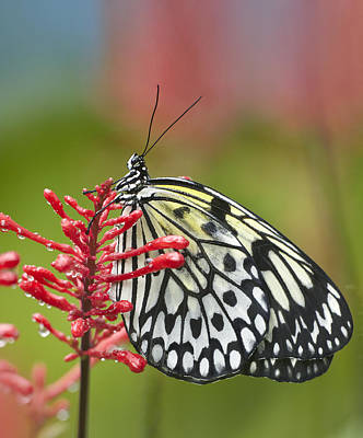 Idea Leuconoe Photograph - Paper Kite Idea Leuconoe Butterfly by Tim Fitzharris