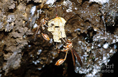 Wasp Nest Photograph - Paper Wasps On Nest, Bolivia by Dante Fenolio