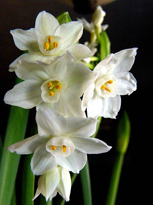 Art Print featuring the photograph Paperwhites by Robin Dickinson