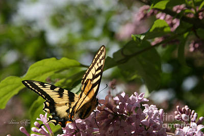 Papilio Glaucus   Eastern Tiger Swallowtail  Art Print by Sharon Mau