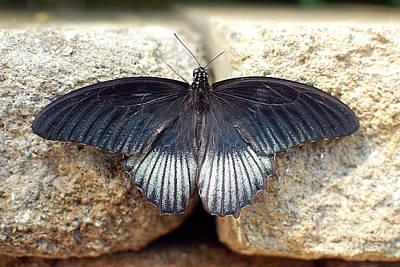 Ecosystem Photograph - Papilio Lowii by Floyd Menezes