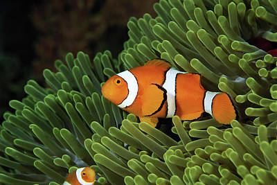 The White Stripes Photograph - Papua New Guinea, False Clown Anemonefish And Sea Anemone, Underwater View by Darryl Leniuk