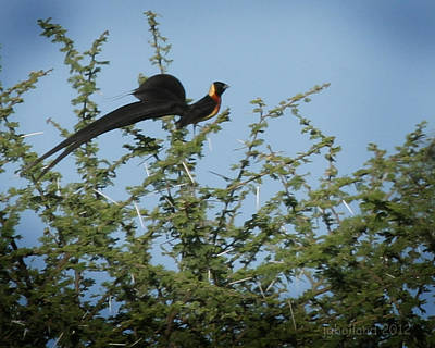 Photograph - Paradise Whydah by Joseph G Holland