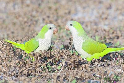 Parakeet Photograph - Parakeet by Alex Bramwell