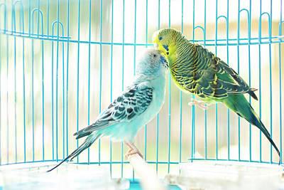 Birdcage Photograph - Parakeet Couple Kiss Each Other by Lawren