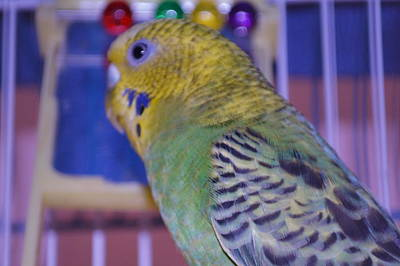 Photograph - Parakeet by Saifon Anaya