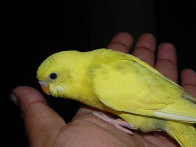 Photograph - Parakeet Sitting On Hand by Arindam Raha