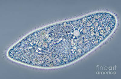Paramecium Caudatum, Contractile Art Print by M. I. Walker