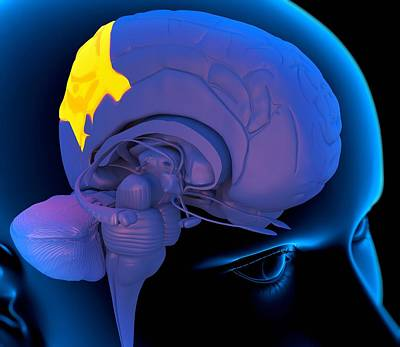 Integrated Photograph - Parietal Lobe In The Brain, Artwork by Roger Harris