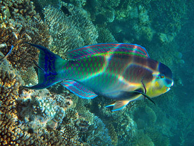 Parrotfish Photograph - Parrot Fish by Federica Grassi