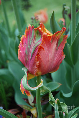 Photograph - Parrot Tulip Flower by Eva Kaufman