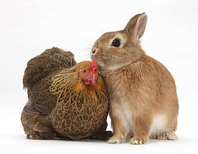 Pekin Bantam Photograph - Partridge Pekin Bantam With Rabbit by Mark Taylor