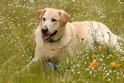 Photograph - Yellow Lab In The Wildflowers by Jean Noren