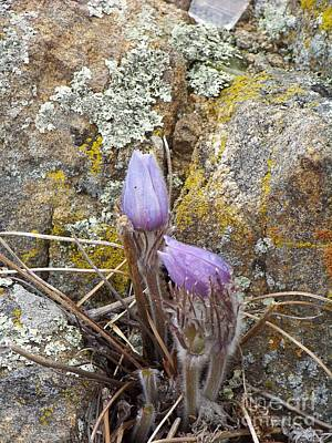 Photograph - Pasque Flowers by Dorrene BrownButterfield