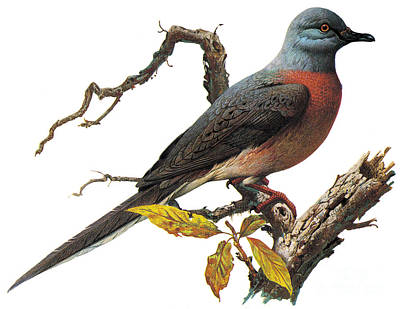 Photograph - Passenger Pigeon by Photo Researchers