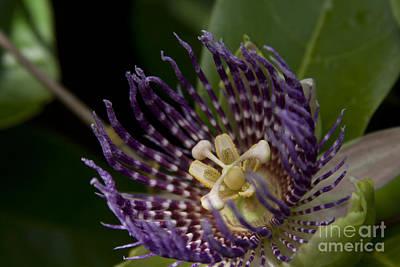 Photograph - Passiflora Alata - Passion Flower - Haliimaile Maui Hawaii by Sharon Mau