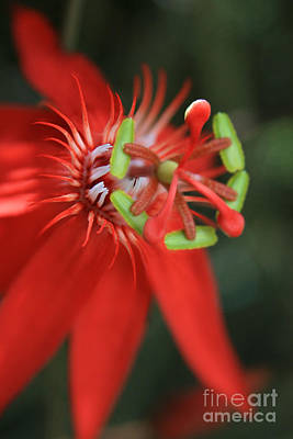 Photograph - Passiflora Vitifolia Scarlet Red Passion Flower by Sharon Mau