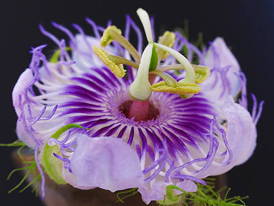Passionflower Photograph - Passion Flora by Juergen Roth