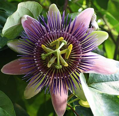 Amature Photograph - Passion Flower 2 by Bruce Bley