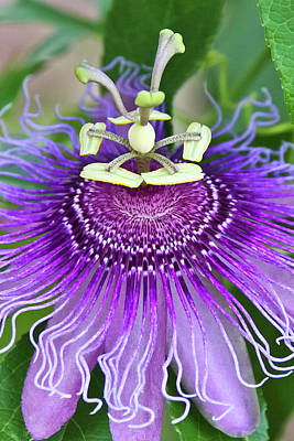 Photograph - Passion Flower by Albert Seger