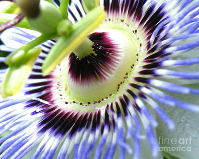 Photograph - Passion Flower Detail by David Chalker