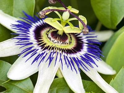 Passion Flower (passiflora Caerulea) Print by Adrian Bicker