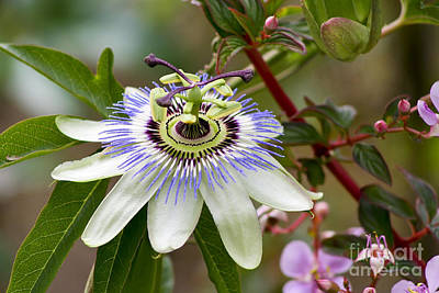Passion Flower Art Print by Teresa Zieba