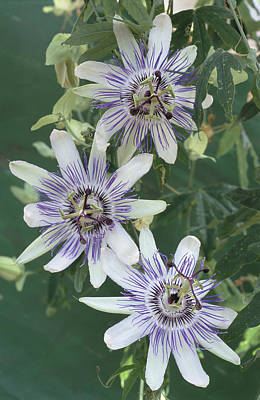 Passiflora Photograph - Passion Flowers by Archie Young