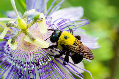 Passion Fruit Flower And Bee Art Print