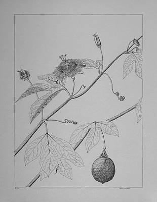 Passion Vine Drawing - Passionflower Vine by Daniel Reed