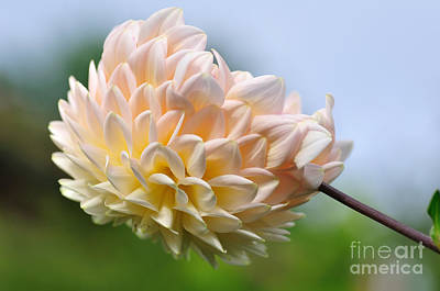 Photograph - Pastel Dahlia by Kaye Menner