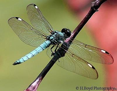 Photograph - Pastel Dragonfly by Heather  Boyd