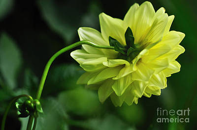 Photograph - Pastel Lemon Dahlia 2 by Kaye Menner