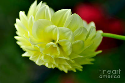 Photograph - Pastel Lemon Dahlia by Kaye Menner
