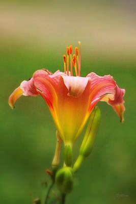 Photograph - Pastel Lilyform by Deborah  Crew-Johnson